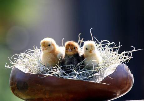 3 Chicks in a Bowl... by PatriciaVazquez